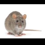 Rattenbestrijding Vianen